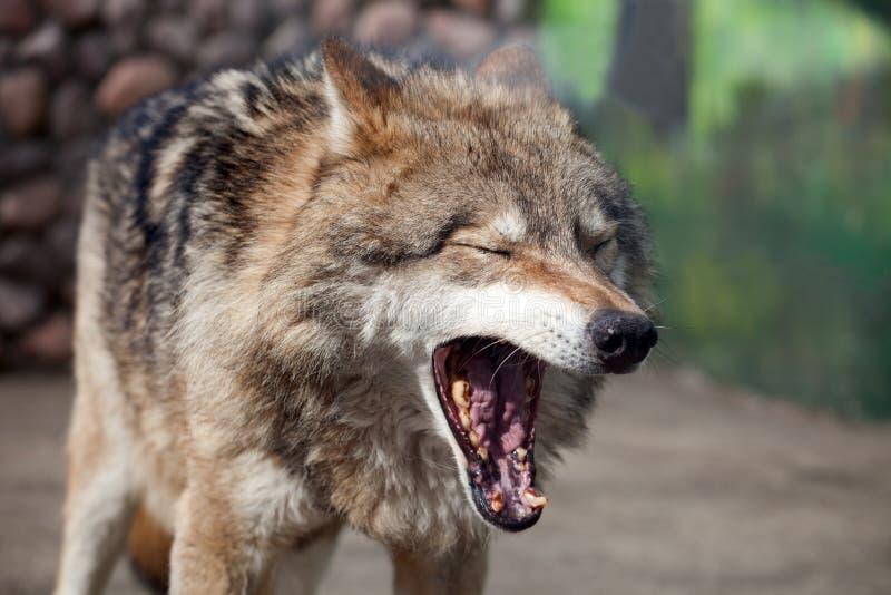 Van Grey Wolf (Canis-wolfszweer) de geeuwen royalty-vrije stock afbeelding