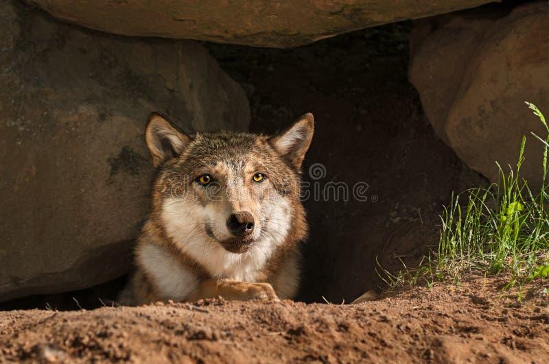 Van Grey Wolf (Canis-wolfszweer) de Porrenhoofd uit Hol stock afbeeldingen