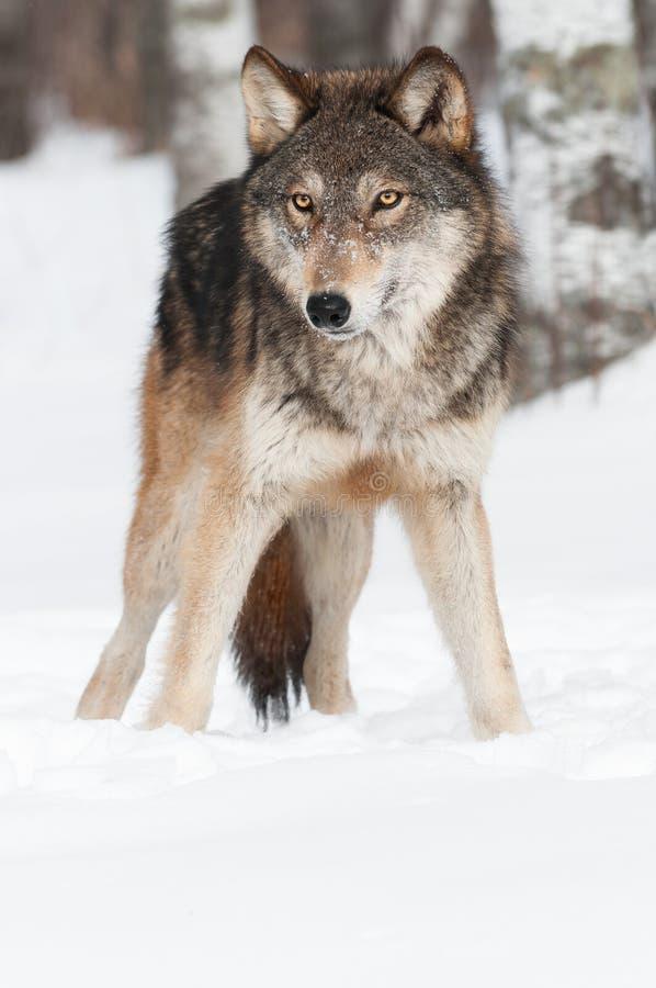 Van Grey Wolf (Canis-wolfszweer) het Exemplaar Ruimtebodem royalty-vrije stock afbeeldingen