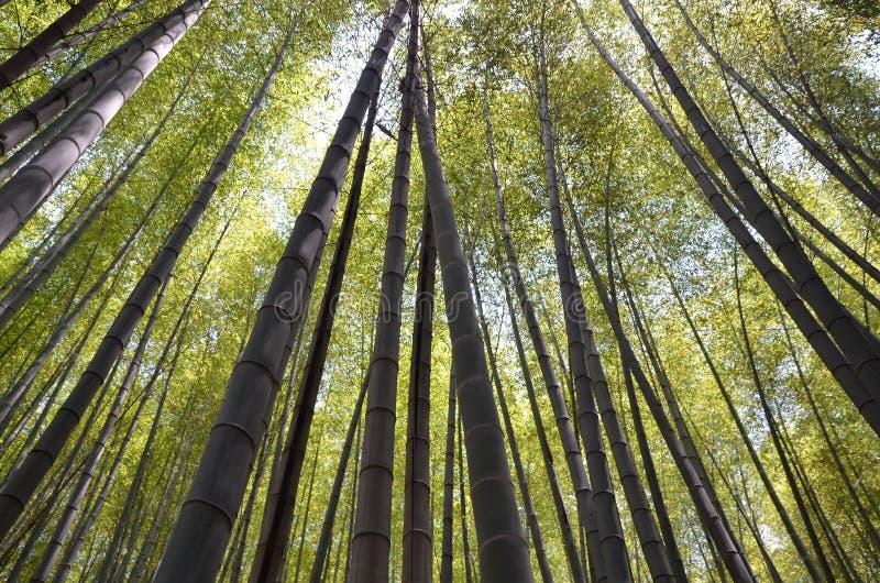 Van het bamboe bosbomen van Japan het perspectiefhemel stock afbeeldingen