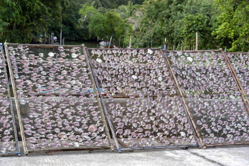 Van het het behoudsproduct van het pijlinktvis de droge voedsel traditionele pijlinktvissen die in de zon, eiland Koh Phangan, Th stock foto's