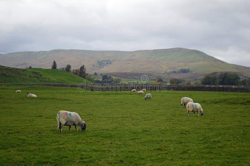 Van het de Dallen het Nationale Park van Yorkshire de schapen van Swaledale weiden stock fotografie