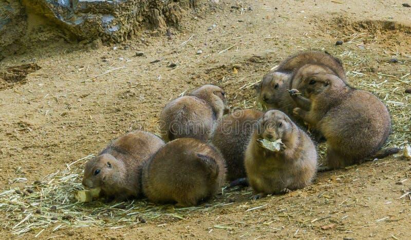Van het de familieportret van het prairiehonden leuke knaagdier dierlijke dichte omhooggaand van het eten van voedsel en status i stock afbeelding