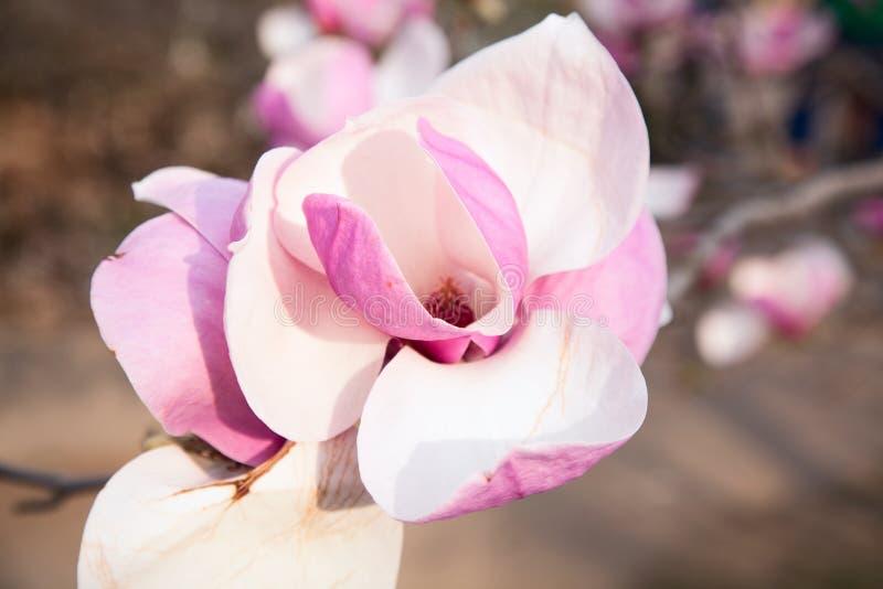 Van het de giftstilleven van de bloemenaard van de de gelukwenszomer Roze het beeldmagnolia royalty-vrije stock afbeelding