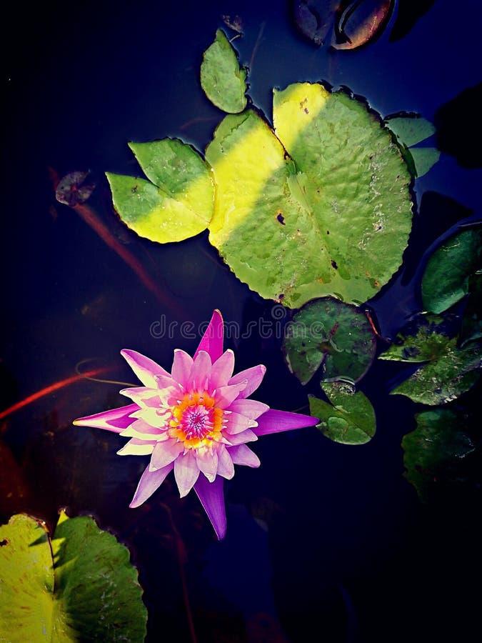 Van het de toevluchtwater van de bladbloem van de de bloemblaadjeslotusbloem vijver van de het uitjerivier de blauwe roze groene  royalty-vrije stock foto's