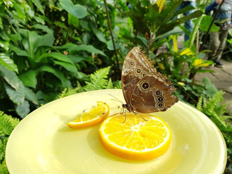 Van het de tuinlandbouwbedrijf van het vlinder oranje park de zomerinsecten royalty-vrije stock afbeelding