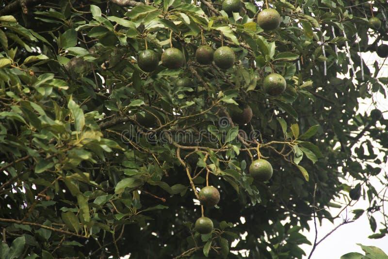 Van het het fruitvoedsel van de avocadoboom van het de landbouwgebied van de het bladvitamine heerlijk Sao Paulo Brazil royalty-vrije stock foto's