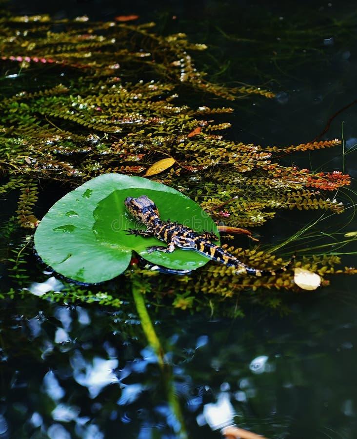 Van het gatorpark van Florida de V.S. de babyalligator van september royalty-vrije stock afbeeldingen