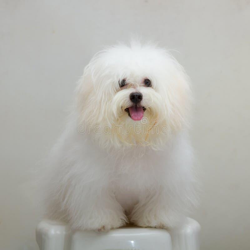 Van het het puppyras van Shihtzu de uiterst kleine hond royalty-vrije stock afbeeldingen