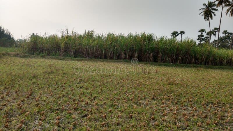 Van het landbouwgebied en suikerriet installaties bij ver royalty-vrije stock foto's
