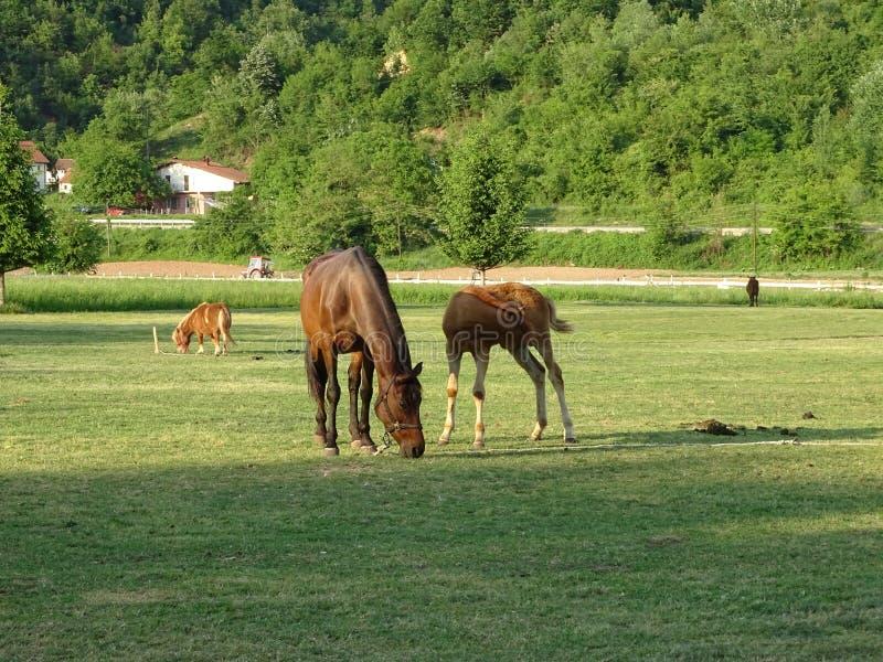 Van het moederpaard en Veulen het weiden in de weide royalty-vrije stock afbeeldingen