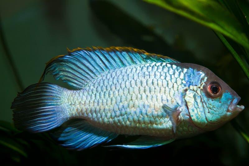 Van het neon de blauwe, zoetwatercichlid van Nannacaraanomala spectaculaire en kleurrijke mannelijke vissen, kunstmatig ras in aa stock afbeeldingen