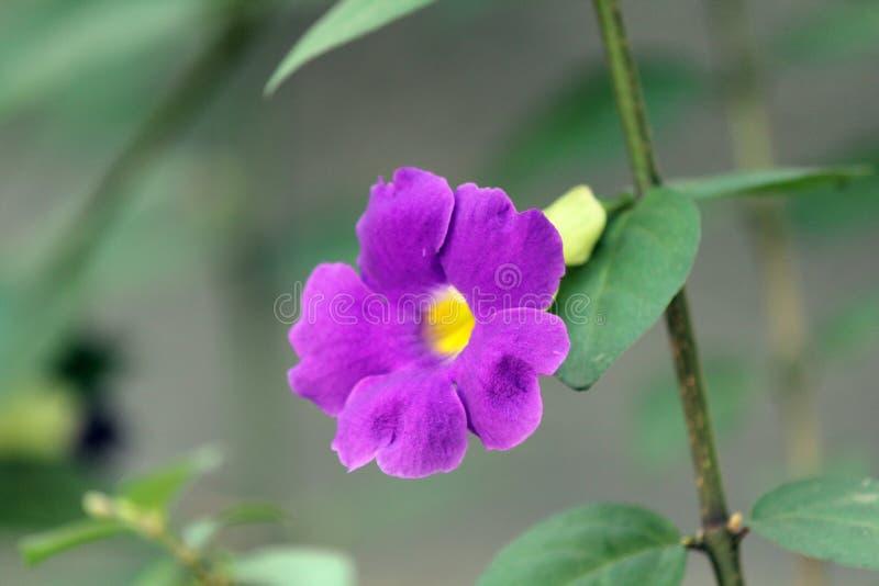 Van het petunia 'Purpere Fluweel 'de bloem stock afbeelding