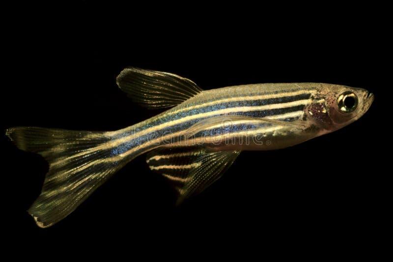 Van het rerioaquarium van Zebrafishdanio de weerhaakvissen op geïsoleerde zwarte achtergrond stock afbeelding