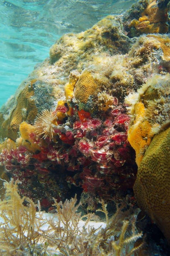 Van het spleet-kroon de wormen veerstofdoek in een koraalrif royalty-vrije stock foto