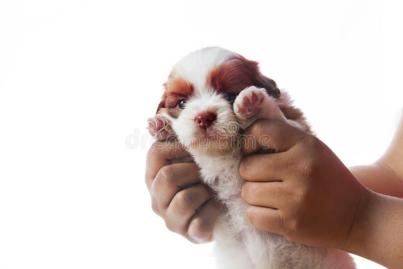Van het tzupuppy van de handholding shih hond geïsoleerd whie gebruik als achtergrond FO stock fotografie