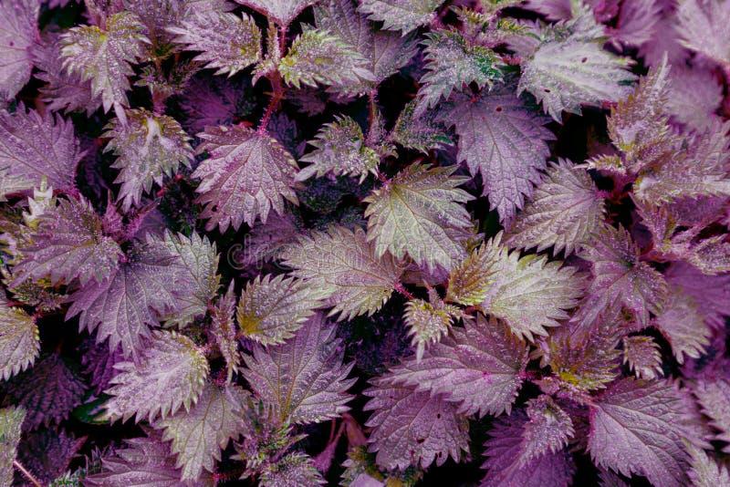 Van het waterdalingen van achtergrond groen agrimoniesbladeren de regen blauw purper roze viooltje ultra stock afbeeldingen