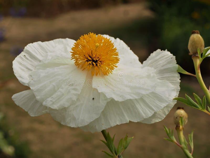 Van het witte papaverbloem en zaad hoofden royalty-vrije stock afbeeldingen