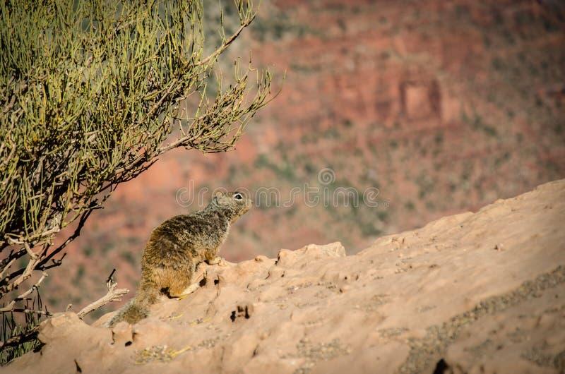 Van het Zuidenkaibab van de rotseekhoorn de Sleep Grand Canyon stock afbeeldingen