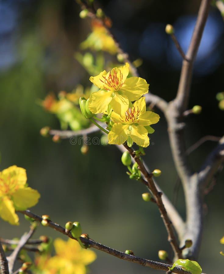 Van Hoamai de boom (Ochna Integerrima) bloem royalty-vrije stock fotografie