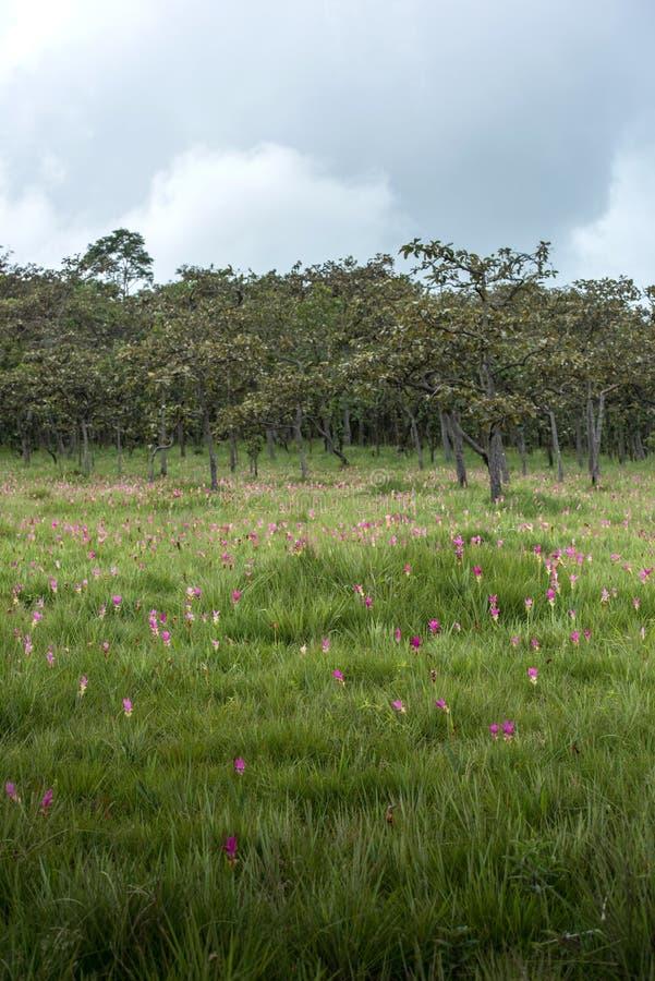 Van laat op het seizoen van Siam Tulip fileld bij het Nationale Park van Saithong, Chai royalty-vrije stock foto