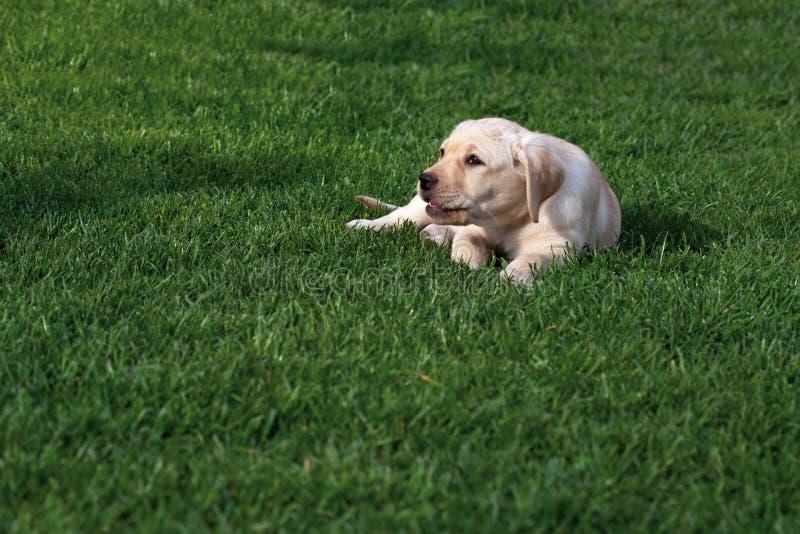 Van Labrador (retriever) het puppy stock foto