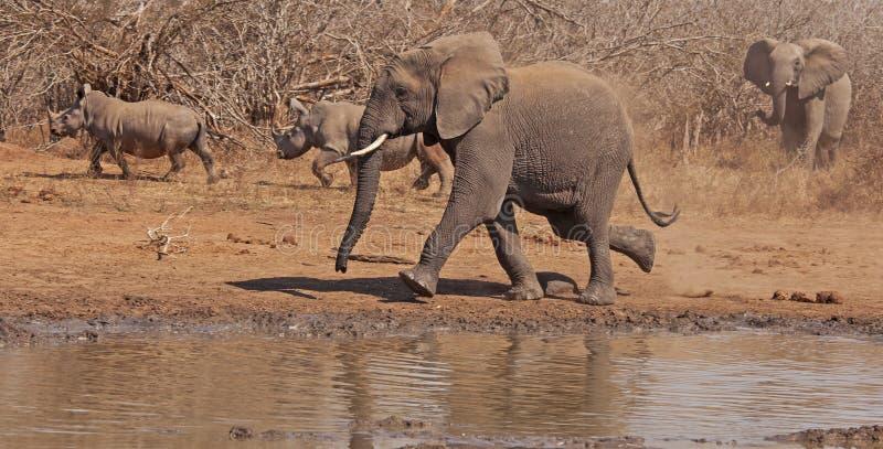 Van looppasolifanten en rinocerossen looppas royalty-vrije stock foto's