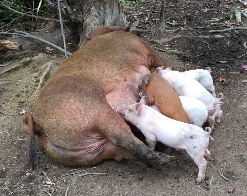 Van moedervarken en babys het eten royalty-vrije stock afbeelding