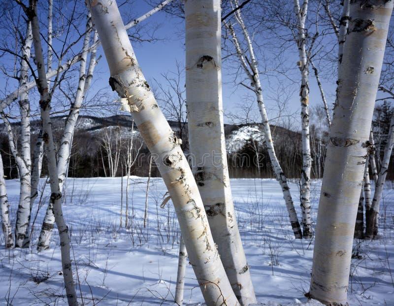 Van Newhampshire; Witte berkbomen in de winter royalty-vrije stock afbeeldingen