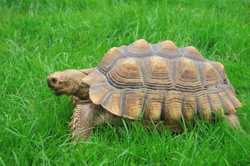 Van Sulcata (aangespoord Afrikaans) de schildpad royalty-vrije stock afbeeldingen