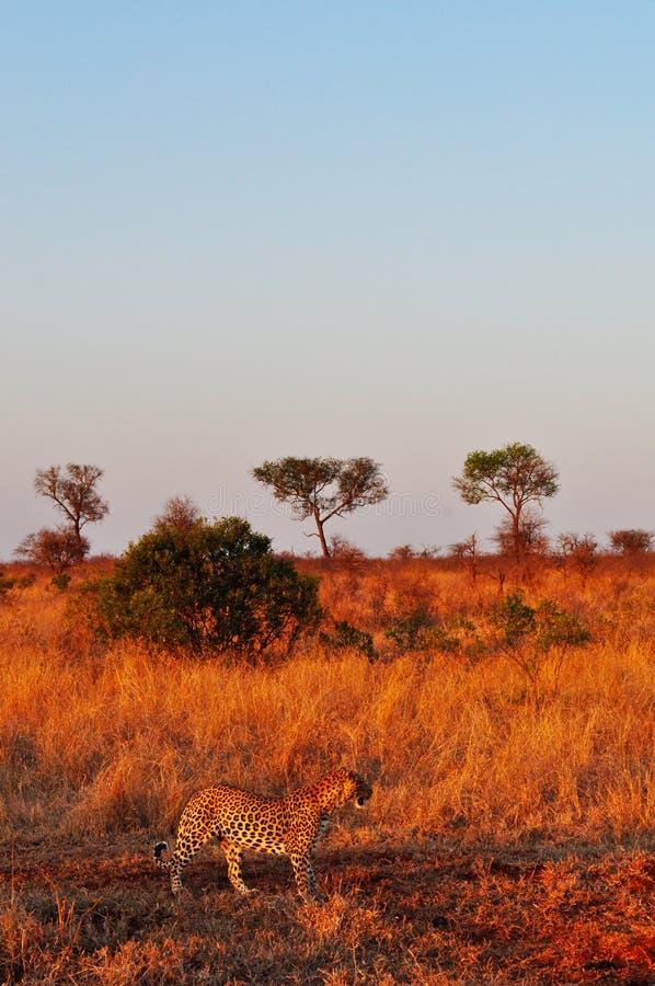 Van van Kruger Nationale Park, Limpopo en Mpumalanga provincies, Zuid-Afrika stock fotografie