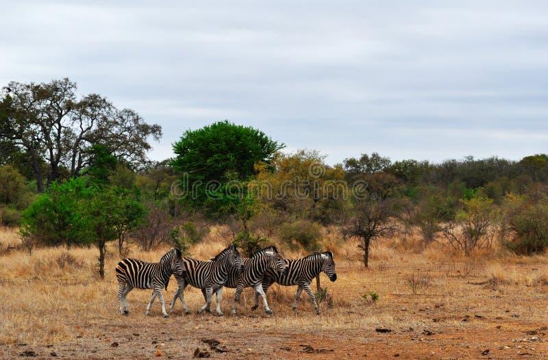 Van van Kruger Nationale Park, Limpopo en Mpumalanga provincies, Zuid-Afrika royalty-vrije stock fotografie