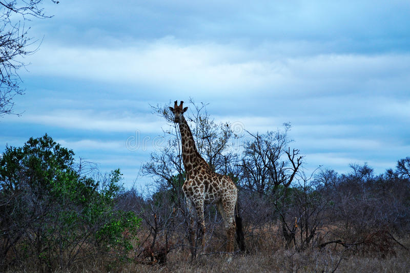 Van van Kruger Nationale Park, Limpopo en Mpumalanga provincies, Zuid-Afrika royalty-vrije stock foto