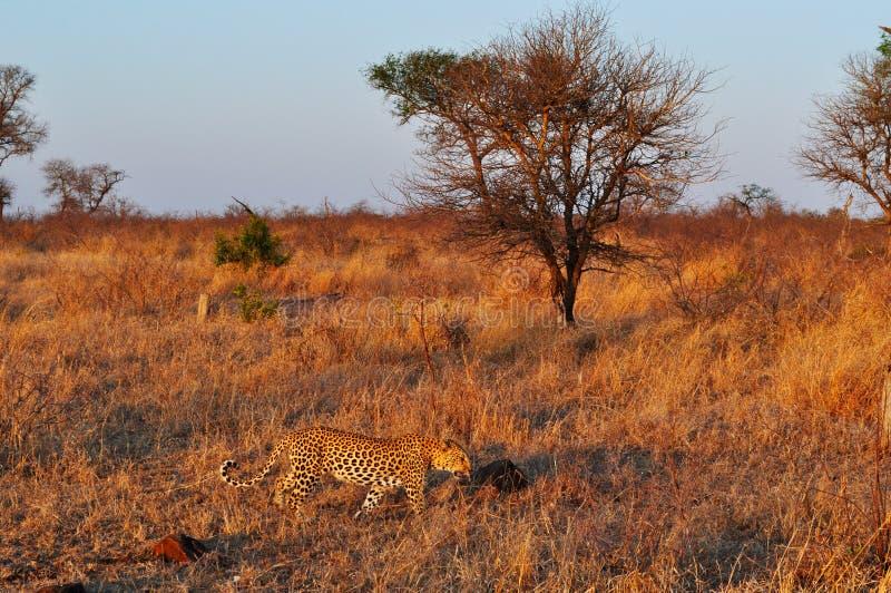 Van van Kruger Nationale Park, Limpopo en Mpumalanga provincies, Zuid-Afrika royalty-vrije stock afbeeldingen