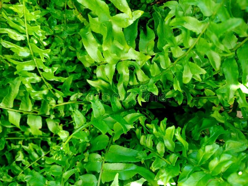 Van varensinstallaties en bladeren de verse groene achtergrond van de gebladerte natuurlijke bloemenvaren stock foto