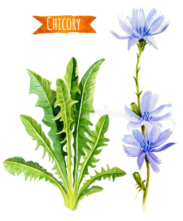 Van witlofbloemen en bladeren waterverfillustratie met het knippen stock illustratie