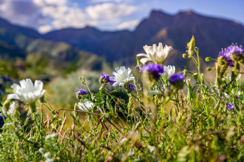 Van woestijnwitlof en Phacelia wildflowers die in het Park van de de Woestijnstaat van Anza Borrego tijdens een de lente super bl royalty-vrije stock fotografie