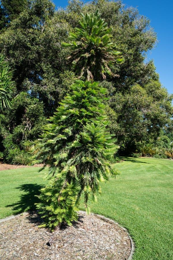Van Wollemipijnboom of wollemia nobilis een naaldboom in Adelaide botanische tuinen SA Australië stock foto's