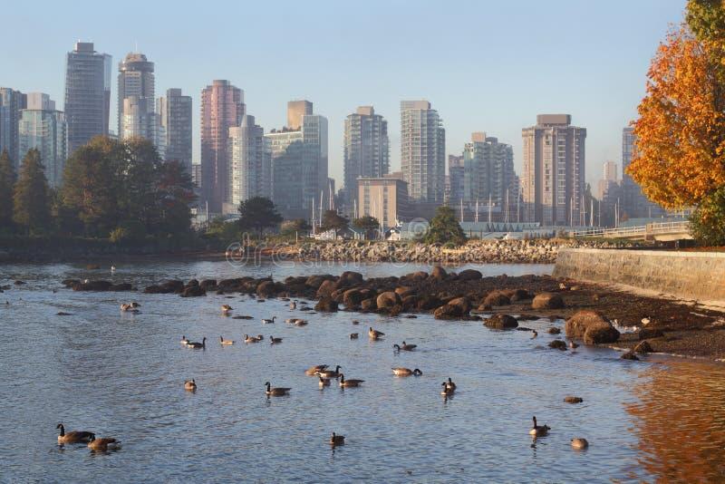 Gansos de Canadá, skyline do porto de carvão, Vancôver imagem de stock