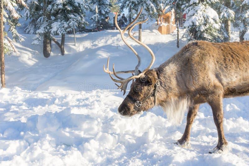 Vancouver del norte Canadá - 30 de diciembre de 2017: Reno en un paisaje del invierno en la montaña del urogallo fotos de archivo