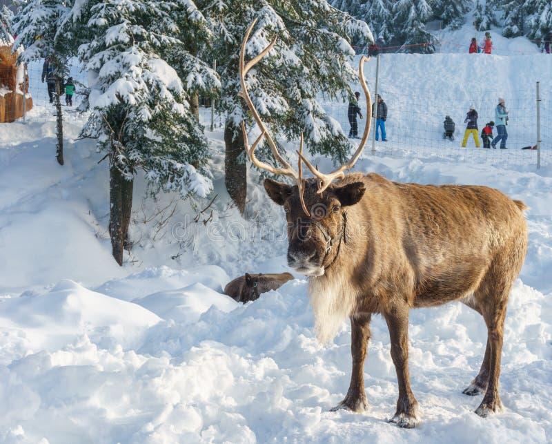 Vancouver del norte Canadá - 30 de diciembre de 2017: Reno en un paisaje del invierno en la montaña del urogallo imagen de archivo libre de regalías