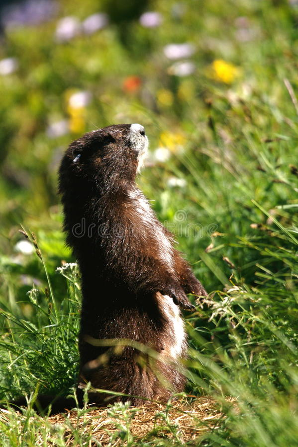Free Vancouver Island Marmot Royalty Free Stock Photography - 12264507