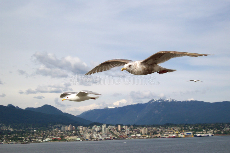 Vancouver-Seevögel lizenzfreie stockfotografie
