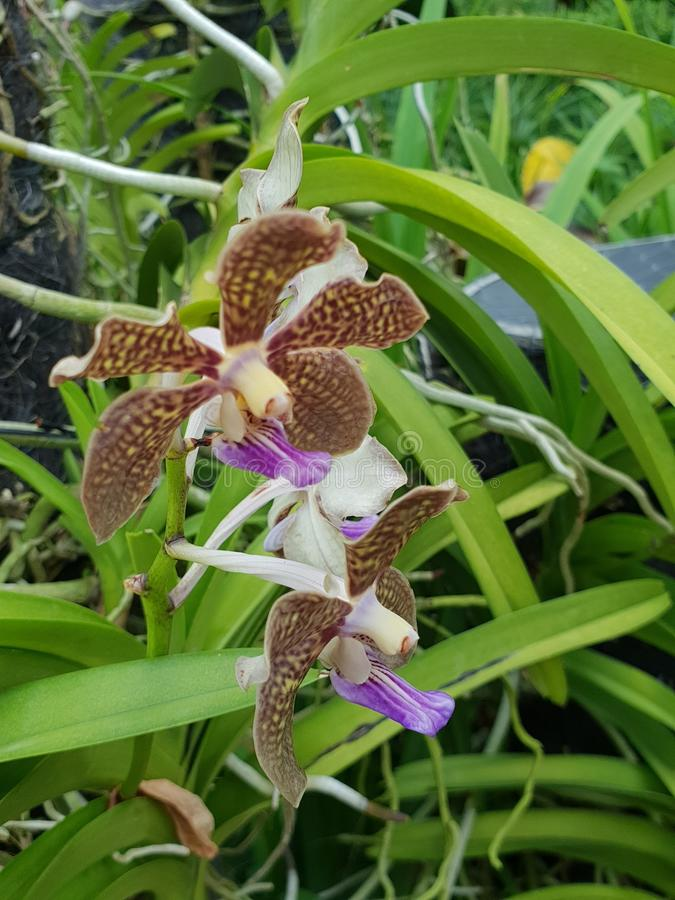Vanda Mimi Palmer also commonly known as the Vanda Tan Chay Yan orchid flowers in Singapore stock photo