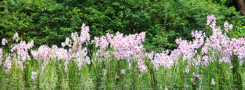 Vanda Miss Joaquim-Orchidee in botanischen Gärten Singapurs stockbild