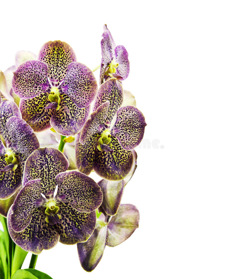 Vanda Orchid royalty free stock photos