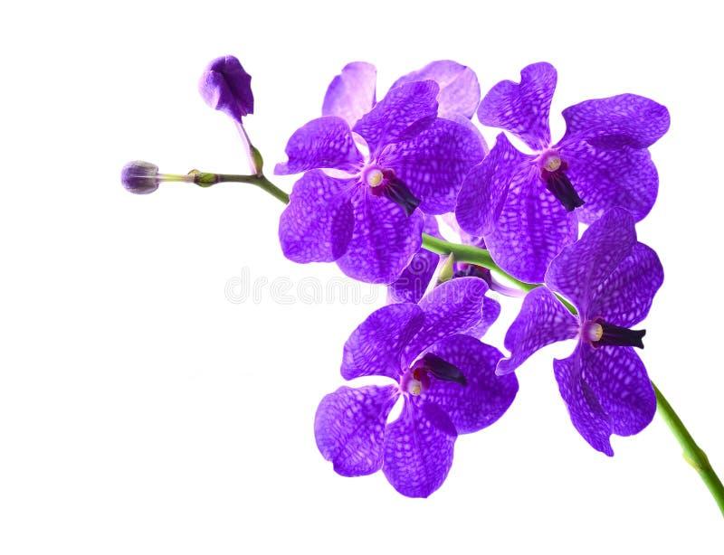 Vanda Orchid image libre de droits