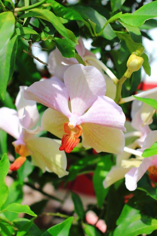 Vanda Orchid fotografía de archivo