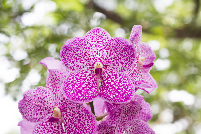 Vanda orchid on blur background royalty free stock photography