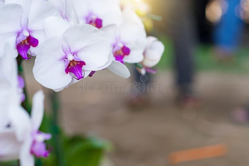 Vanda Orchid Orchidaceae vanda orkidér är tillgängliga arkivfoto